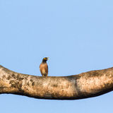 Common Myna Stock Photos