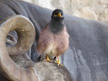 Common Myna Perched on Buffalo Head Royalty Free Stock Photos