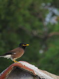 Common Myna Perched on House Roof Stock Photos