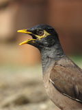 Common Myna calling - Portrait Royalty Free Stock Image