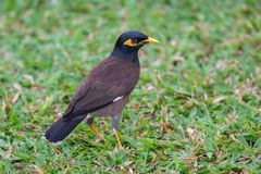Common myna proudly walks through the grassy lawn of the hotel in Thailand Stock Photos