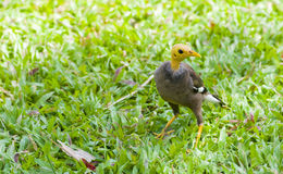 A common myna with shaved head Royalty Free Stock Photo