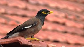 Common Myna sit on House Roof with Red Tiles Stock Photography