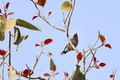A common myna sitting on colorful tree Royalty Free Stock Image