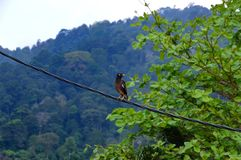 Common myna sitting on a electric line. stock image