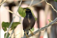 A common myna. Common myna sitting on a tree branch Stock Photo