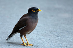 Common myna. The common myna sometimes spelled mynah, also sometimes known as Indian myna Stock Photos
