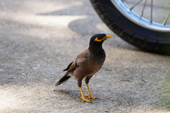 Common Myna. A common myna standing next to a bike wheel Royalty Free Stock Photos