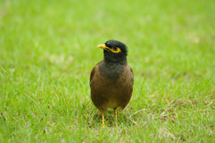 Common Myna in sward Stock Photo