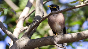 Common Myna on Tree Branch Royalty Free Stock Photos
