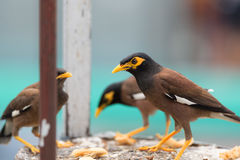 Common Myna. Royalty Free Stock Photos