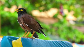 Common Myna stock video