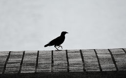Common myna walking Royalty Free Stock Photography