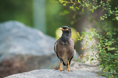 Common Myna watching closely Stock Images