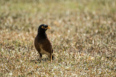 Common Mynah bird. In central Oahu Hawaii Royalty Free Stock Photos