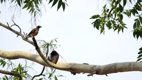 Common mynas birds stock video footage
