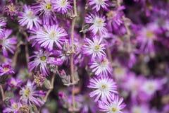 Delosperma Floribundum, Starburst Royalty Free Stock Images