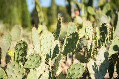 Opuntia dillenii or stricta. Common Names: Australian pest pear, common prickly pear, Dillen`s prickly pear, Eltham Indian fig, erect prickly pear, Gayndah pear stock image