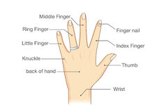 Common names for fingers of hand. Stock Photography