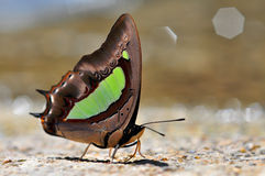 Common Nawab butterfly. Of thailand background Stock Image