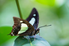 The Common Nawab butterfly on a leaf extreme close up Royalty Free Stock Photos