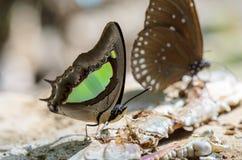 Common Nawab butterfly (Polyura athamas) Stock Photography