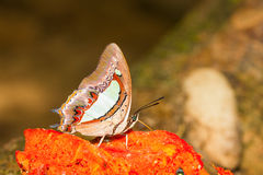 The Common Nawab butterfly Stock Photos