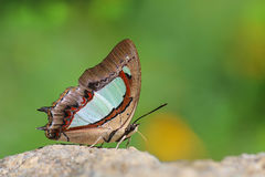 The common Nawab Polyura athamas butterfly. The Common Nawab Polyura athamas athamas Druty,1773 Stock Images