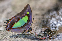 The Common Nawab Polyura. Athamas (Drury) in Nature on sand Royalty Free Stock Image