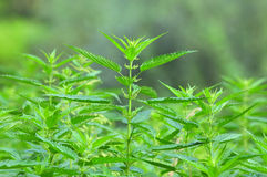Common nettle at flowering stage Stock Image