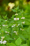 Common nettle Stock Photography