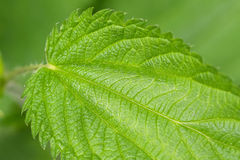 Common nettle plants with defensive stinging hairs on green leav Stock Images