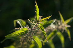 Common nettle or stinging nettle (Urtica dioica) Stock Photos