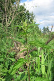 Common nettle or Stinging nettle (Urtica dioica) Stock Photo