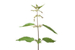 Common nettle (urtica dioica) Stock Photo