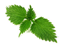 Common nettle royalty free stock photos