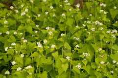 Common nettle. Whit pretty white flowers stock photo