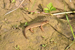 Common newt Royalty Free Stock Images
