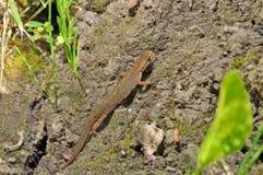 Common newt Stock Image