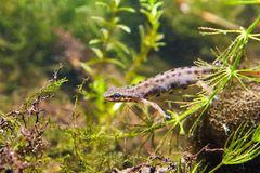 Common newt or smooth newt, Lissotriton vulgaris, male in breeding water form, biotope aquarium. Common newt or smooth newt, Lissotriton vulgaris, male Royalty Free Stock Photography