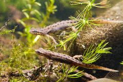 Common newt or smooth newt, Lissotriton vulgaris, freshwater amphibian in breeding water form, fauna photo. Common newt or smooth newt, Lissotriton vulgaris Stock Photography