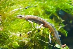 Common newt or smooth newt, Lissotriton vulgaris, male freshwater amphibian in breeding water form. Biotope aquarium, closeup nature photo Stock Photos