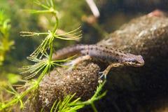 Common newt or smooth newt, Lissotriton vulgaris, male freshwater amphibian, closeup nature photo. Common newt or smooth newt, Lissotriton vulgaris, male Royalty Free Stock Photos