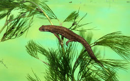 Common newt or smooth newt, Triturus vulgaris royalty free stock photos