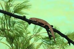 Common newt or smooth newt, Triturus vulgaris Royalty Free Stock Photo