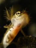 Common newt  Triturus vulgaris tadpole Royalty Free Stock Image