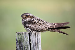 Common Nighthawk Stock Photography