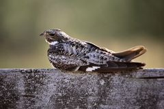 Common Nighthawk Stock Images