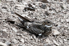 Common Nighthawk Royalty Free Stock Photo