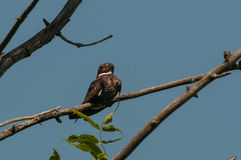 Common Nighthawk. On a branch stock photos